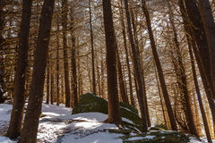 Fir Forest of Roan. Roan Mountain Stock Photography