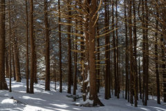 Fir Forest of Roan. Roan Mountain Royalty Free Stock Photo
