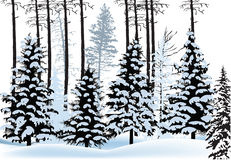 Fir forest silhouettes in snow Stock Image