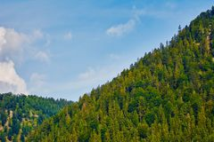 Slope of a Hill. Fir Forest on the Slope of a Hill Stock Photos