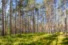 Summer fir forest in Norway Stock Images