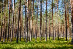 Summer fir forest in Norway Stock Image