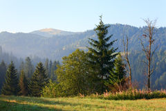 Fir forest on summer mountainside Royalty Free Stock Photos