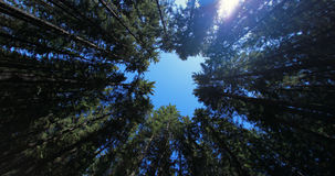 Fir forest top view from below. Fir conifer forest top view from below against blue sky Stock Photo