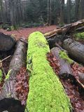 Fir forest and tree trunks with moss on a rainy day Royalty Free Stock Photos