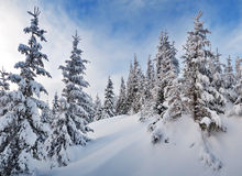 Fir forest under snow Royalty Free Stock Photos