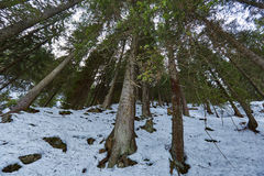 Fir forest on winter Royalty Free Stock Photos
