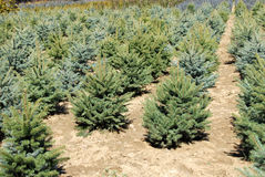 Fir garden center Royalty Free Stock Images