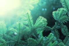 Fir green branch royalty free stock image