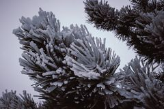 Fir. Green fir branches in the snow Stock Images