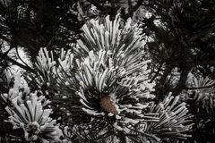 Fir. Green fir branches in the snow Royalty Free Stock Photography