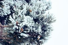 Fir. Green fir branches in the snow Stock Image