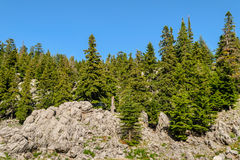 Fir growing on the rocks Stock Image