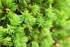 The fir has sprung Stock Photos