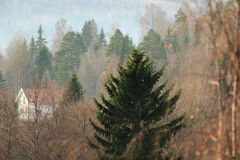 Fir in haze Royalty Free Stock Photos
