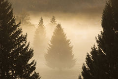 Fir In The Forest With Fog Atmosphere, Good Christmas Tree