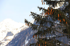 Fir in Mountains. Fir in  Hight mountains beautiful winter panorama Stock Image