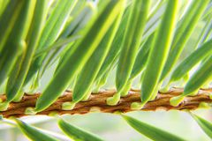 Fir needle Stock Images