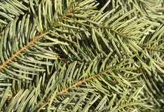 Fir needle background Royalty Free Stock Photo