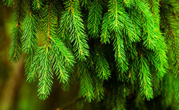 Fir-needle Royalty Free Stock Images