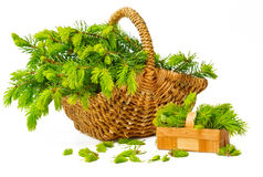 Fir needlepoints in May, collected in the basket. Isolated on white Stock Photography