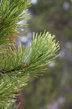 Fir needles Stock Photo