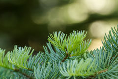 Fir needles on a blurred background. Red fir (Abies magnifica) branches with fresh green growth with a blurred background Stock Photos