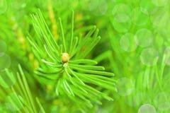 Fir needles closeup Stock Images