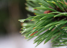 Fir needles with drops of rain close up Stock Photography