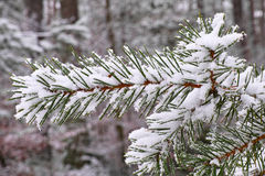 Fir needles snow-covered Royalty Free Stock Images