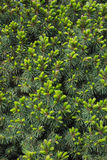 Fir Picea glauca Conica Background Royalty Free Stock Photo