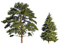 Fir and pine Royalty Free Stock Photo