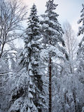 Fir and pine blue and red trees in the snow of winter forest in frosty mist Royalty Free Stock Image