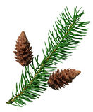 Fir and pine cone Royalty Free Stock Image