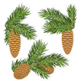 Fir pine cones. Pine cones of fir with needles isolated on white background Royalty Free Stock Photo