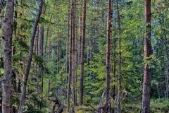 Fir and pine forest Stock Photos