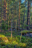 Fir and pine forest Royalty Free Stock Photo
