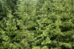 Fir pine trees green mountain texture Royalty Free Stock Photo