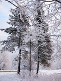 Fir and pine trees in the snow of dark winter forest in frosty mist. Forest road Royalty Free Stock Photos
