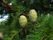 Fir pinecones Stock Images