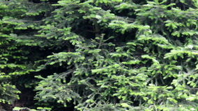 Fir in the rain. Silver fir and spruce in the rain stock video footage