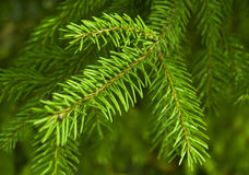 Fir`s tree branchis. Royalty Free Stock Images