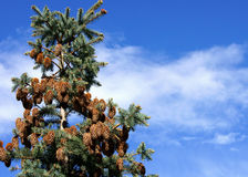 Fir and sky Royalty Free Stock Images