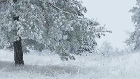 Fir in snow tree wild forest Christmas winter branch snowing. Fir in  snow tree wild forest Christmas winter branch snowing stock footage