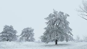 Fir in snow tree wild forest snowing Christmas winter. Fir in  snow tree wild forest snowing Christmas winter stock footage