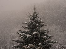 Fir during a snowfall stock image