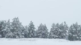 Fir snowing in snow tree wild forest Christmas winter. Fir  snowing in snow tree wild forest Christmas winter stock video footage