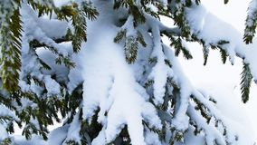 Original winter,coniferous background. Fir after a snowstorn.Beauty Stock Photo