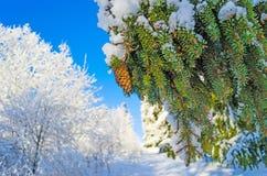 Fir Spruce pine cone pine branch snow forest trees frost sky. Fir Spruce pine cone pine snow Stock Photos