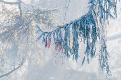 Fir, spruce tree branch with cones in winter. In the morning, woods and fog in background stock image